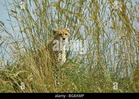 Cheetah cub dans l'herbe haute, Masai Mara, Kenya Banque D'Images