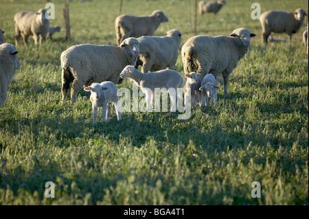 Bébé printemps agneaux dans champ de luzerne avec des moutons Banque D'Images