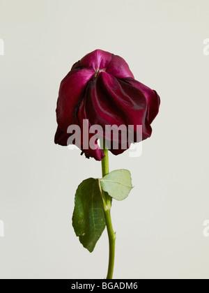 Séché Rose Rouge Banque D'Images