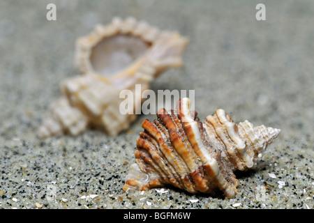 Sting winkle / forage / huître (Murex Ocenebra erinacea) sur plage, Bretagne, France