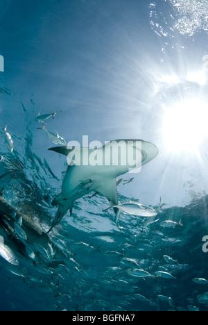 Un requin citron (Negaprion brevirostris) nage à travers une école de vérins sous le soleil brillant dans les eaux Banque D'Images