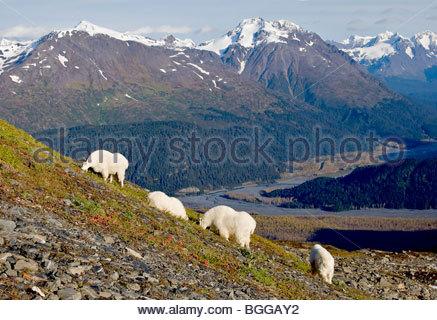 De l'Alaska. Mounatin chèvres (Oreamnos americanus) flanc de manger de l'herbe de la toundra, Kenai Fjords National Banque D'Images