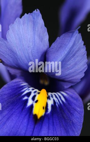 Fleur d'Iris (Iris sp.) Gros plan de fleur bleue, Oxfordshire, UK Banque D'Images