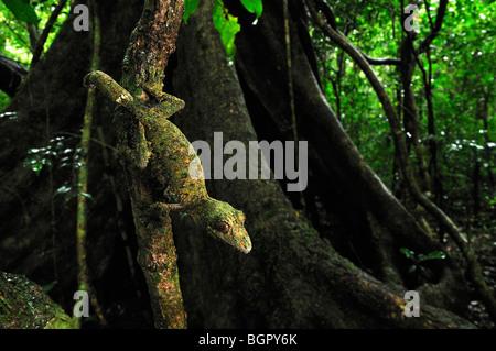 Gecko à queue de feuille moussus (Uroplatus sikorae), adulte, Montagne d'Ambre Parc National, Antsiranana, Madagascar Banque D'Images