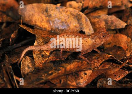 Feuille plaqué (Caméléon Brookesia stumpffi), camouflée sur les feuilles mortes, le Parc National d'Ankarana, Nord Banque D'Images