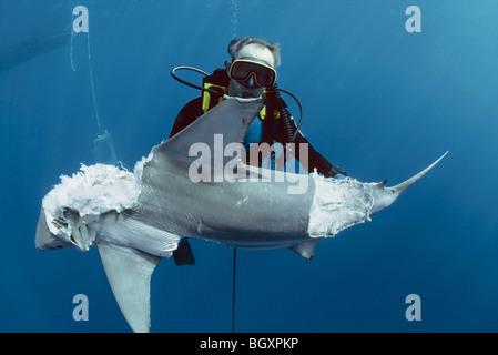 Diver observe Blacktip Reef Requin (Carcharhinus limbatus) mangés par des requins taureau géant Banque D'Images