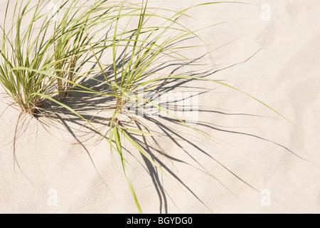 L'herbe pousse dans le sable