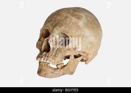 Crâne humain (Homo sapiens)