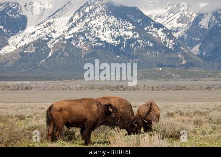 Le pâturage des bisons dans un champ de sauge près de Antelope Flats Road à Grand Teton National Park, Wyoming, Banque D'Images
