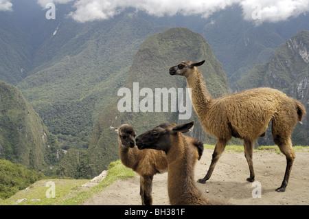 Les lamas ou alpagas en ruines au sacré cité Inca de Machu Picchu, Pérou Banque D'Images
