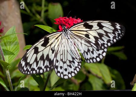 Nymphe des arbres (Idea leuconoe) papillon, papier de riz, papier Papillon Papillon Kite Banque D'Images