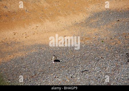 Jaune solitaire eyed penguin (Megadyptes antipodes) à pied de la mer sur la plage à plage de Bushy, Oamaru. Banque D'Images