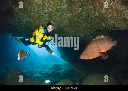 Scuba Diver et mérou sombre dans la grotte, Epinephelus marginatus, Dofi Nord, Îles Medes, Costa Brava, Espagne, Banque D'Images