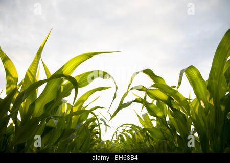 Récolte de maïs jeune Banque D'Images