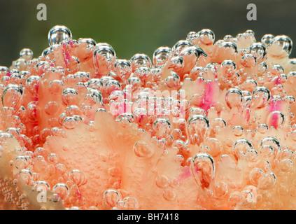 Des bulles d'air accroché à une fleur oeillet underwater Banque D'Images