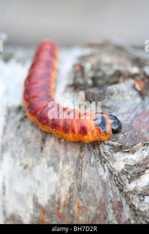 (Chèvre) cossus Cossus sur caterpillar journal de bouleau Banque D'Images