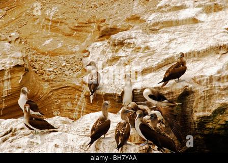 L'Équateur, Puerto Lopez, Patas Azules ou oiseaux oiseau avec pattes bleu sur les falaises crayeuses de Puerto Lopez