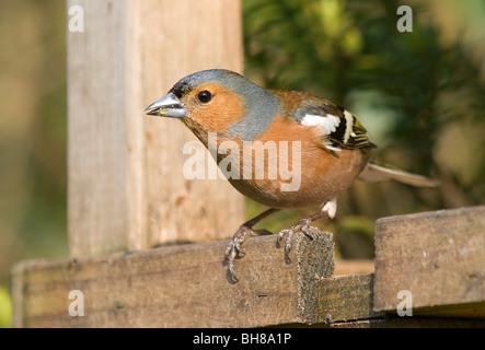 Chaffinch oiseaux mâles sur table Banque D'Images