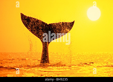 Queue de baleine à bosse, Megaptera novaeangliae, Big Island, côte de Kona, Hawaii, USA Banque D'Images