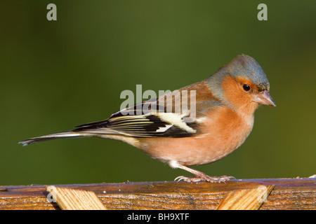 Chaffinch Fringilla coelebs; homme; sur jardin clôture Banque D'Images