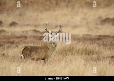 Red Deer Stag sur la lande sur Jura Banque D'Images