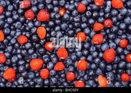 Un grand nombre des bleuets avec quelques fraises sauvages entre eux. Banque D'Images