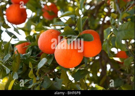 Frais, les oranges mûres growing on tree à Marrakech, Maroc.