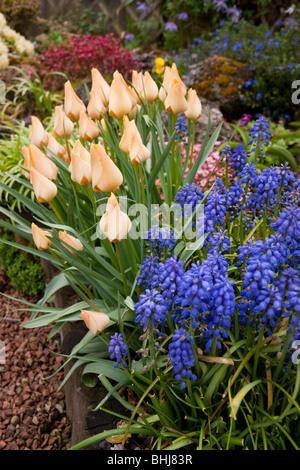 Jardin de fleurs avec des tulipes et muscari Banque D'Images