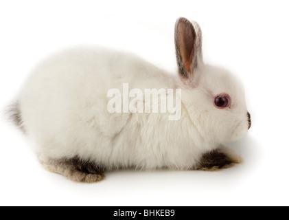 Joli lapin blanc. C'est découper sur un fond blanc.
