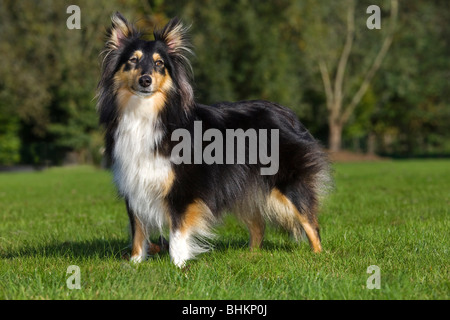 Shetland Sheepdog / collie / Sheltie (Canis lupus familiaris) in garden Banque D'Images