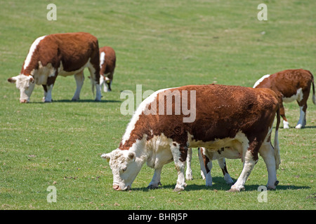Hereford vaches avec veaux sous