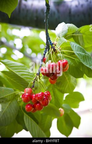 Cerises sur un arbre Banque D'Images