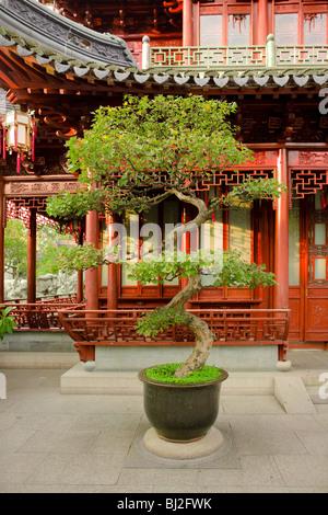 Bonsai à Jardins de Yuyuan, Shanghai, Chine, Asie Banque D'Images