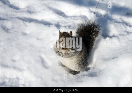 Un écureuil gris de jouer dans la neige dans Central Park à New York Banque D'Images