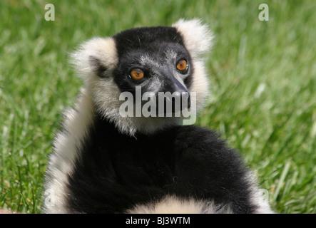 Noir et blanc La Gélinotte Lemur Le Varecia variegata. Banque D'Images