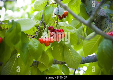 Chierries sur un arbre Banque D'Images