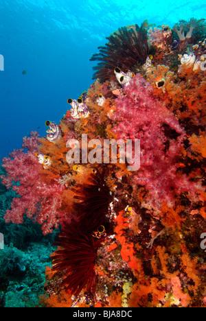 Couvert de Corail Corail carnation dans Raja Ampat, l'Océan Pacifique Banque D'Images