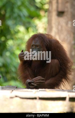 Un orang-outan sauvage semi (Pongo pygmaeus) au centre de réhabilitation des Orang-outans de Sepilok près de Sandakan, Banque D'Images