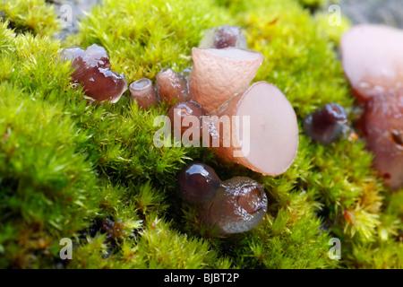 Hêtre (Jellydisc Petrak Neobulgaria pura), de plus en plus parmi la mousse sur la tige des arbres hêtre mort, Allemagne