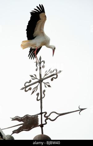 Cigogne Blanche (Ciconia ciconia), l'atterrissage sur clocher d'église, Alcantara, Estrémadure, Espagne Banque D'Images