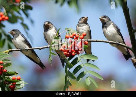 L'hirondelle rustique (Hirundo rustica), 4 jeunes oiseaux posés sur une branche Banque D'Images