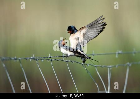 L'hirondelle rustique (Hirundo rustica), sur l'accouplement paire clôture, Portugal Banque D'Images