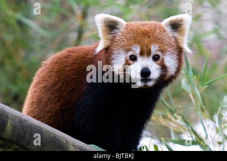 Le panda rouge, le zoo de Beauval sur une froide journée d'hiver. Banque D'Images