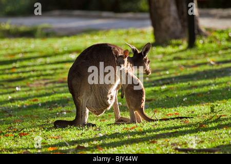 Kangourou gris de l'Ouest (Macropus fuliginosus) femelle avec Joey dans la lumière du soir Banque D'Images