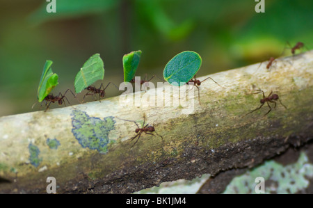 Les fourmis coupeuses de feuilles portant des feuilles, Parc National de Soberania, Panama Banque D'Images