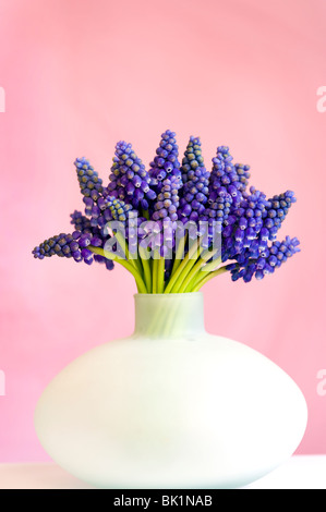 Bouquet de muscari ou muscaris dans un vase peut contre un fond rose