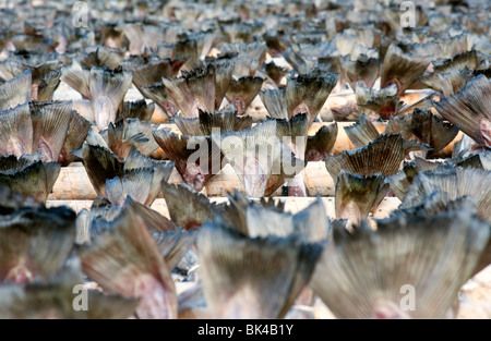 La morue de séchage pour produire de plein air traditionnel stockfish sur des supports dans les îles Lofoten en Banque D'Images