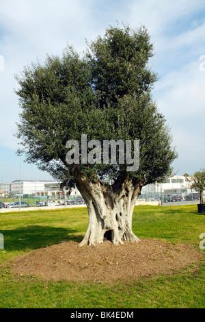 Un olivier séculaire
