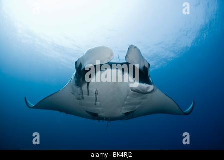 Manta Ray, archipel de Mergui, la Birmanie, la mer d'Andaman, l'Océan Indien Banque D'Images