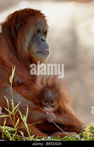 Orang-outan et âgée de 6 mois bébé en captivité, Rio Grande Zoo, Albuquerque, New Mexico, USA Banque D'Images
